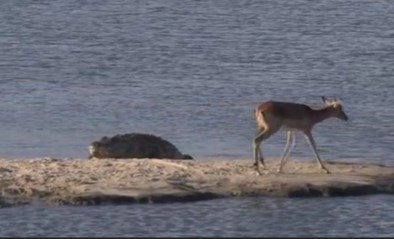 Impala probeert te ontsnappen aan krokodil, maar in het water loopt het fout af