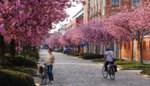 Gentse straat baadt in roze kleurenpracht