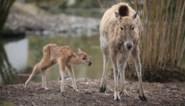 Geboorte van een in het wild uitgestorven hertensoort in Pairi Daiza