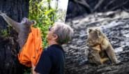 Heuglijk moment na bosbranden in Australië: koala's die gewond raakten, keren terug naar het wild