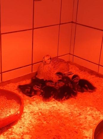 Jonge eendjes worden na redding uit riool opgevoed door pseudomoeder 'kwartel'