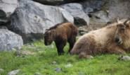 Geboorte van twee met uitsterven bedreigde gouden takins in Pairi Daiza