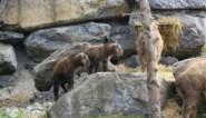 Twee gouden takins geboren in Pairi Daiza