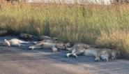 Nu er geen toeristen zijn, slapen de leeuwen op straat