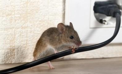 Meer oproepen bij ongediertebestrijders door coronamaatregelen: experts geven tips over hoe je muizen en ratten uit je woning krijgt