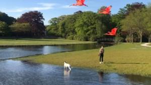 """Deze rode ibissen uit Planckendael genieten van hun vrijheid: """"Ze laten zich moeilijk vangen"""""""