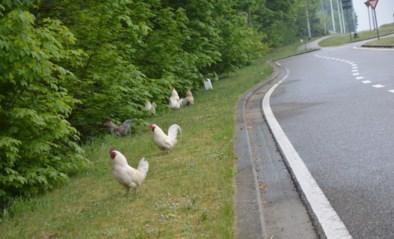 Gedumpte hanen aan carpoolparking in Zoersel vormen groeiende kolonie