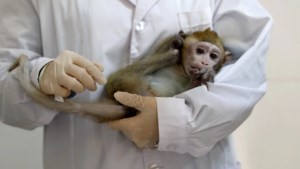 Dan toch al tegen september vaccin? Universiteit van Oxford voert succesvolle test uit op aapjes