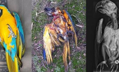 Jager die tamme papegaai Rambo afschoot riskeert zes maanden cel