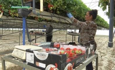 Aardbeienteler uit Heusden-Zolder vult tekort aan seizoensarbeiders creatief op