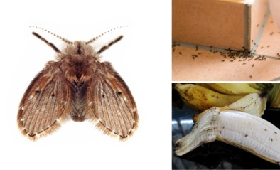 Vliegend ongedierte duikt dit jaar vroeger dan normaal op: zo houd je de mot en de vliegjes uit je kot