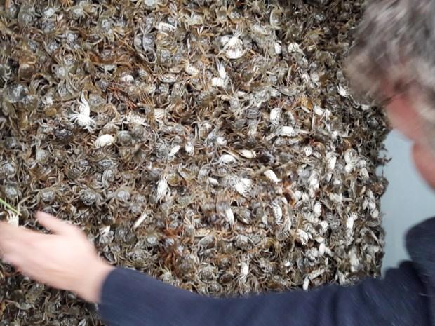 Efficiënt wapen gevonden in strijd tegen Chinese wolhandkrab: de krabbenvanger van Vlaanderen ook in het buitenland gegeerd