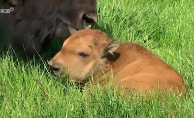 Superschattig: eerste bizonkalfje geboren in Boutersem