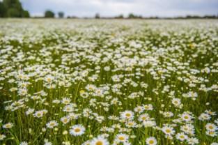 Miljoenen margrietjes in bloei
