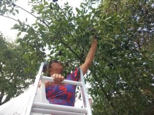 'Zelfplukkers' welkom, maar niet iedereen durft de boom in