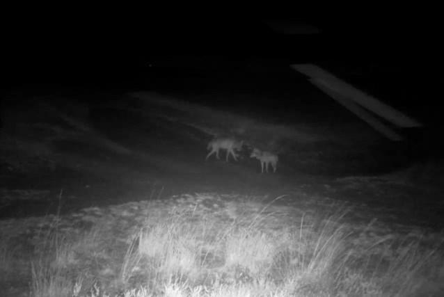 Extra toezicht moet wolvenkoppel en welpen beschermen