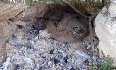 Natuurhulpcentrum plaatst oehoejong terug in nest op steile rotswand in Riemst