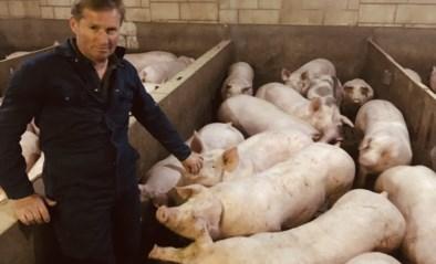 """Boeren kampen met nijpend plaatsgebrek in stallen door afzetproblemen: """"Varkens al twintig kilo dikker"""""""