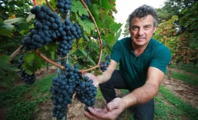 Wijndruiven dreigen verloren te gaan door coronacrisis