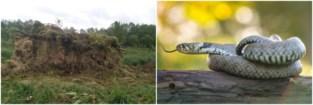 Vlaanderen knutselt broednestjes in elkaar... voor slangen (en die kunnen een meter lang worden)