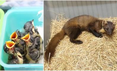 Ongezien: recordaantal jonge diertjes binnengebracht door fenomeen van coronawandelaars