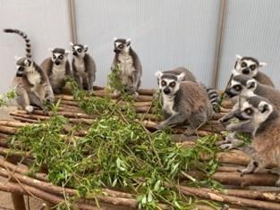 Aapjes kijken in het Harry Malterpark kan opnieuw vanaf maandag