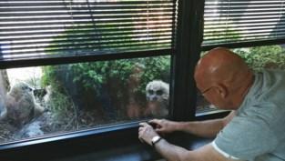 """Oehoes broeden in bloembak van flat van Jos: """"De drie uilskuikens kijken mee tv"""""""