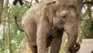"""Zieke olifant Dumbo overleden in Planckendael: """"We zullen haar erg missen"""""""