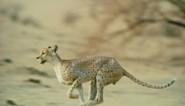 Zeldzaam jachtluipaard duikt na meer dan 10 jaar weer op in Algerijns natuurpark