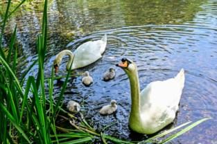 """Stormloop naar park om kuikentjes te bewonderen: """"We hebben de zwanen nog zien vogelen"""""""