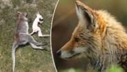 """Vos bijt zes kangoeroes dood: """"Hekwerk met stroom hield hem niet tegen. Het was een bloedbad"""""""