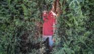 Werknemers Fluvius zagen gat in coniferen om bij verlichtingspaal te kunnen