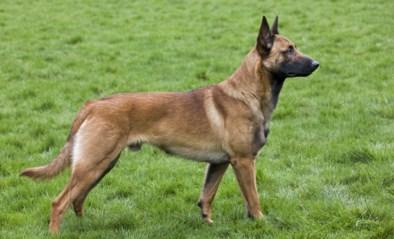 Mechelse herders moeten in weer en wind en zonder eten of drinken in tuin zitten: politie grijpt in
