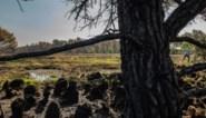 Natuurpunt experimenteert om beschadigde bomen in De Liereman te redden