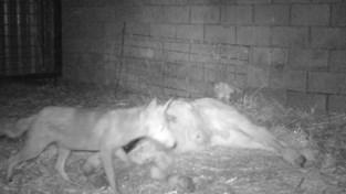 Bijzondere beelden: vos doet zich tegoed aan dood kalfje in Holsbeek