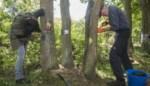 Race tegen de tijd: vrijwilligers proberen zwaar beschadigde eiken te redden met houtschijfjes en veenmos