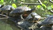 Geelbuikschildpadden veroorzaken problemen in Brusselse Forten van Dendermonde