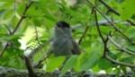 Zwartkop is meest waargenomen zangvogeltje tijdens #HOMEsafari