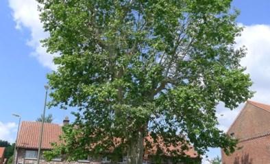 Plataan aan kerk Glabbeek vergt verzorging