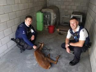 Wild hert springt voor combi, politieagenten vangen dier op
