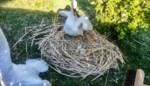 """Groendienst ontdekt 'gestolen' eieren diep in nest: """"Blijf toch maar uit de buurt van broedende zwanen"""""""