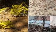 """Ergste aanval in decennia"": naast pandemie krijgen India en Pakistan nu ook enorme sprinkhanenplaag op hun bord"