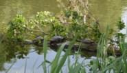 Geelbuikschildpadden moeten weg uit vijver Brusselse Forten