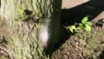 Eikenprocessierupsen gesignaleerd in Parkheide en rond de Balenberg