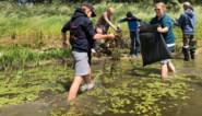 Vrijwilligers in De Blankaart bestrijden waterteunisbloem
