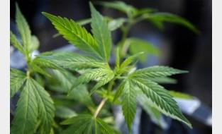 Plantage met bijna 2.500 cannabisplanten opgerold: drie mannen in cel