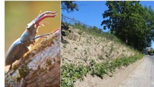"""Overijverige arbeiders vernielen broedplaats van zeldzaam 'vliegend hert': """"De larven werden gewoon afgevoerd naar het containerpark"""""""