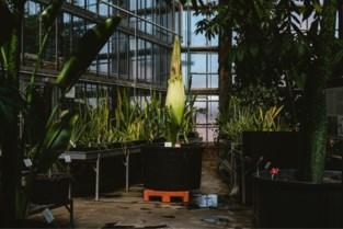 Bloei van 'lijkenplant' in Gentse plantentuin is nu live te volgen via YouTube
