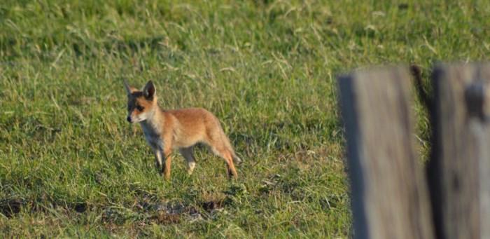 Schattige vosjes attractie aan Spuikom