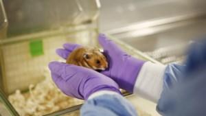 """KU Leuven zoekt als een van de weinige ter wereld met hamsters naar vaccin: """"Nog geen enkele gestorven aan corona"""""""